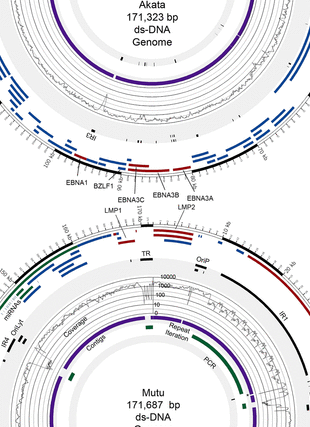 Circular genome visualization and data visualization with Circos: Whole-genome sequencing of the akata and mutu epstein-barr virus strains (310 x 427)