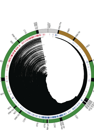 Circular genome visualization and data visualization with Circos: Mitochondrial DNA deletions are associated with non-B DNA conformations (310 x 427)
