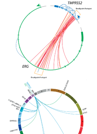 Circular genome visualization and data visualization with Circos: Nucleotide resolution analysis of TMPRSS2 and ERG rearrangements in prostate cancer (310 x 427)