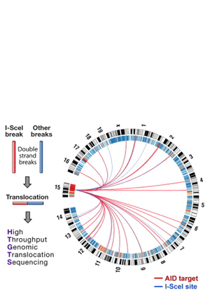 Circular genome visualization and data visualization with Circos: Genome-wide Translocation Sequencing Reveals Mechanisms of Chromosome Breaks and Rearrangements in B Cells (300 x 427)