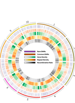 Circular genome visualization and data visualization with Circos: Epigenetic and genetic influences on DNA methylation variation in maize populations (310 x 427)